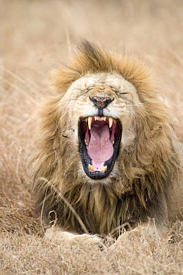 Leo Photograph - Lion Panthera Leo Yawning In A Forest by Panoramic Images