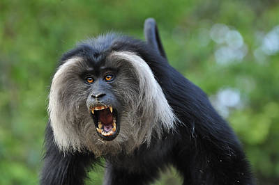 Lion-tailed Macaque Threat Display India Print by Thomas Marent