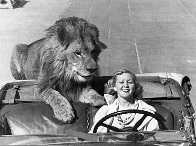 Unusual Animal Photograph - Lion Takes A Daily Ride by Underwood Archives