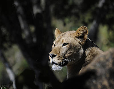 Lion Watching Print by Keith Lovejoy
