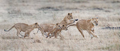 Leo Photograph - Lioness Panthera Leo And Cubs At Play by Panoramic Images