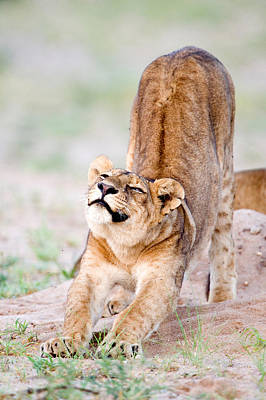 Leo Photograph - Lioness Panthera Leo Stretching by Panoramic Images