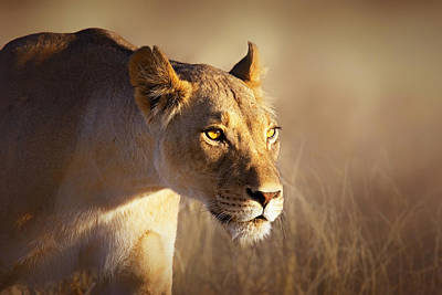 Early Photograph - Lioness Portrait-1 by Johan Swanepoel