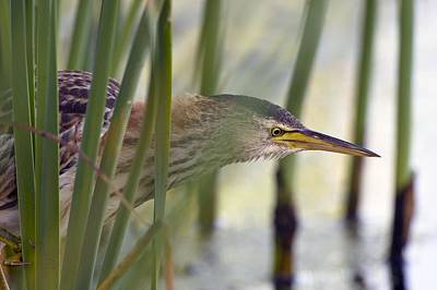 Little Bittern Print by Science Photo Library