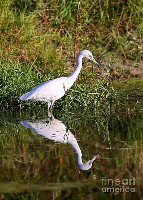 Little Blue Heron In Pond Print by Carol Groenen