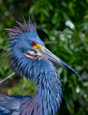 Wetlands Photograph - Little Blue Heron's Crest by Andres Leon