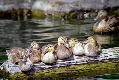 Bird Photograph - Little Ducklings On A Log by Gary Heller