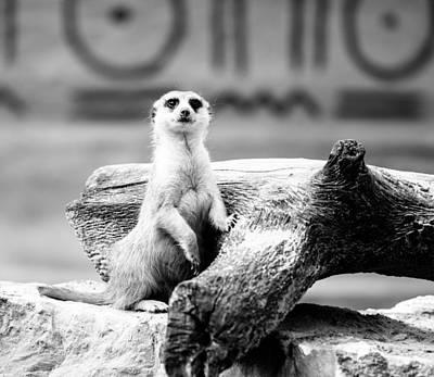 Meerkat Photograph - Little Meerkat by Pati Photography