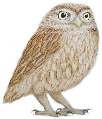 Owl Drawing - Little Owl by Ele Grafton