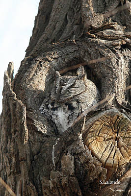 Photograph - Little Owl by Sarah  Lalonde