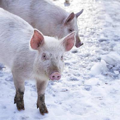 Little Piggies Print by Edward Fielding