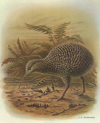 Kiwi Painting - Little Spotted Kiwi by J G Keulemans