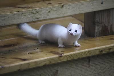 Little White Ferret Print by Sue Chisholm