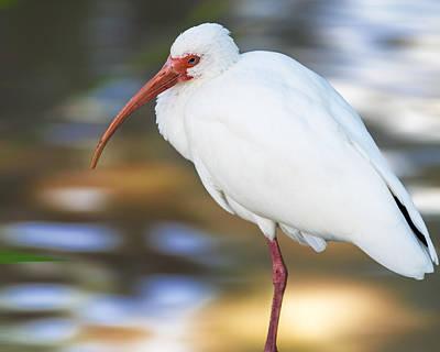 Stork Digital Art - Little White Ibis by Bill Tiepelman