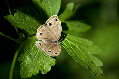 Little Wood Satyr Butterfly Resting On Green Leaf Original by Christina Rollo