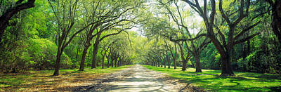 Live Oaks And Spanish Moss Wormsloe Print by Panoramic Images