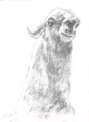 Llama Drawing - Llama Close Up by Andrew Gillette