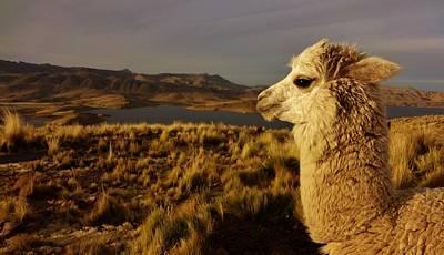 Llama Photograph - Llama by Sarah Pemberton