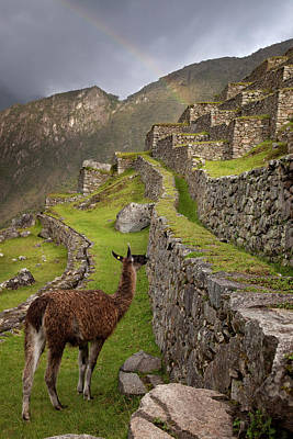 Llama Photograph - Llama Stands On Agricultural Terraces by Jaynes Gallery
