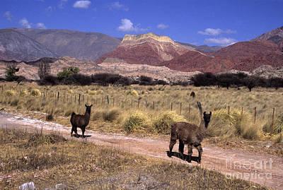 Llama Photograph - Llamas And Cerro Yacoraite Argentina by James Brunker