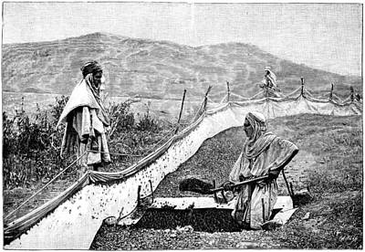 Locust Pest Control, Algeria, 1889 Print by Science Photo Library