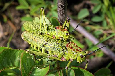 Locust Photograph - Locusts Mating by Philippe Psaila