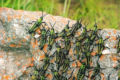 Locust Photograph - Locusts On A Rock by Philippe Psaila