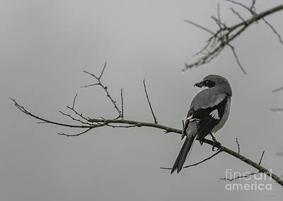 Loggerhead Shrike In Fog Original by Cindy Bryant