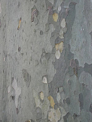 London Plane 1 Print by Robert Johnson