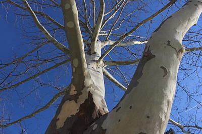 London Plane Tree Print by Jeff Roney