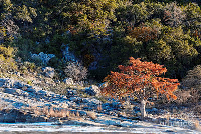 Lone Bald Cypress At Pedernales Falls State Park - Johnson City Texas Hill Country Print by Silvio Ligutti