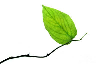 Lone Leaf Large Print by Dan Holm