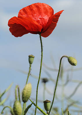 Hillman Photograph - Lone Poppy by Victoria Hillman