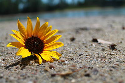 Lone Sunflower Print by Alicia Knust