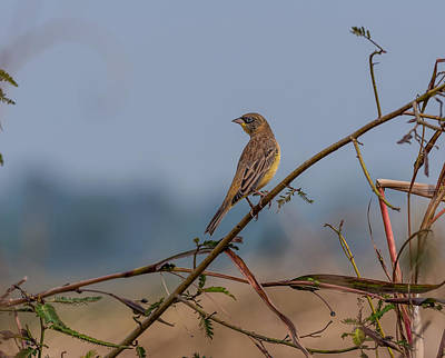 Lonely Bird Black Headed Bunting Print by Srijan Roy Choudhury