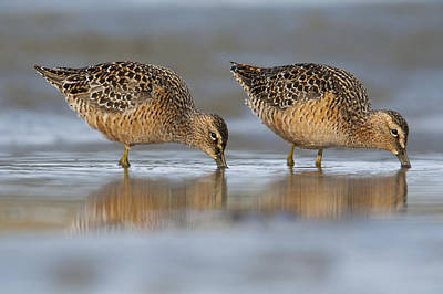 Dowitcher Photograph - Long-billed Dowitcher Feeding by Milo Burcham