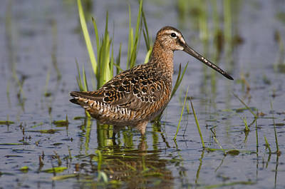 Dowitcher Photograph - Long-billed Dowitcher Stands In Marsh by Kenneth Whitten