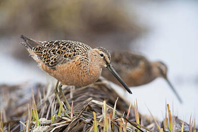 Dowitcher Photograph - Long-billed Dowitchers Feeding In Marsh by Milo Burcham