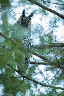 Pine Trees Photograph - Long-eared Owl 1 by Everet Regal
