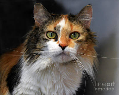 Of Calico Cats Photograph - Long Haired Calico Cat by Catherine Sherman