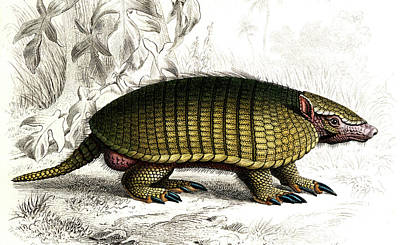 Armadillo Photograph - Long-nosed Armadillo by Collection Abecasis
