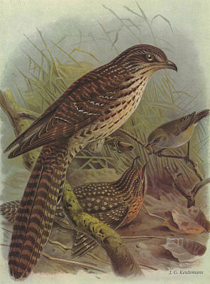 Cuckoo Painting - Long Tailed Cuckoo And Grey Warbler by J G Keulemans