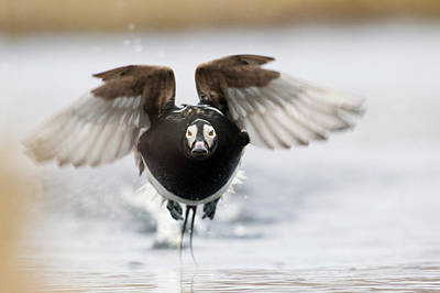Long-tailed Duck Print by Ken Archer
