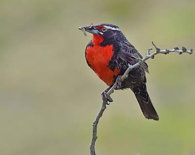 Meadowlark Photograph - Long-tailed Meadowlark by Tony Beck