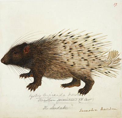 Sumatra Photograph - Long Tailed Porcupine From Sumatra by British Library