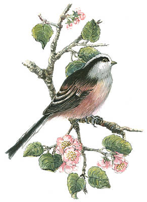 Cherry Drawing - Long Tailed Tit And Cherry Blossom by Nell Hill