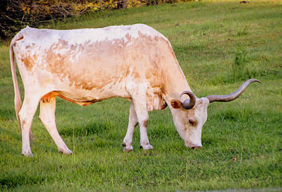 Cow Photograph - Longhorn Cow by Zina Stromberg