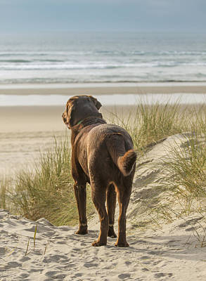 Chocolate Lab Photograph - Longing by Jean Noren