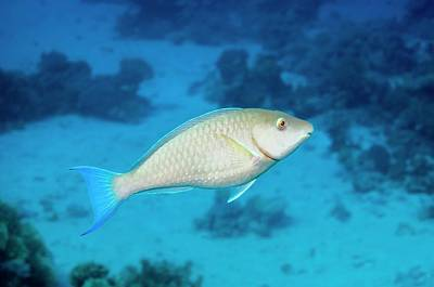 Parrotfish Photograph - Longnose Parrotfish by Georgette Douwma