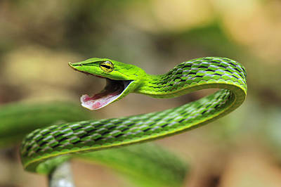 Longnose Whipsnake Agumbe Rainforest Print by Thomas Marent